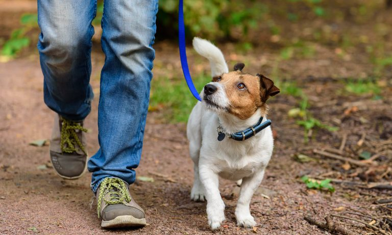 Jack Russell Terrier being walked through forest along path