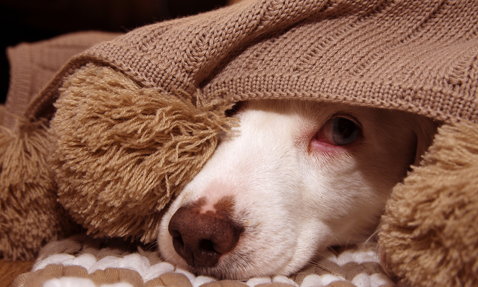 A dogs face protrudes from under knit blanket its expression suggesting fear or sickness