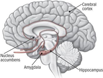 Diagram of brain highlighting components that comprise brain's reward center